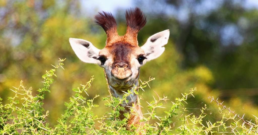 Endangered rainforest animals wallpaper - Africa S Gentle Giant Is Secretly Going Extinct David