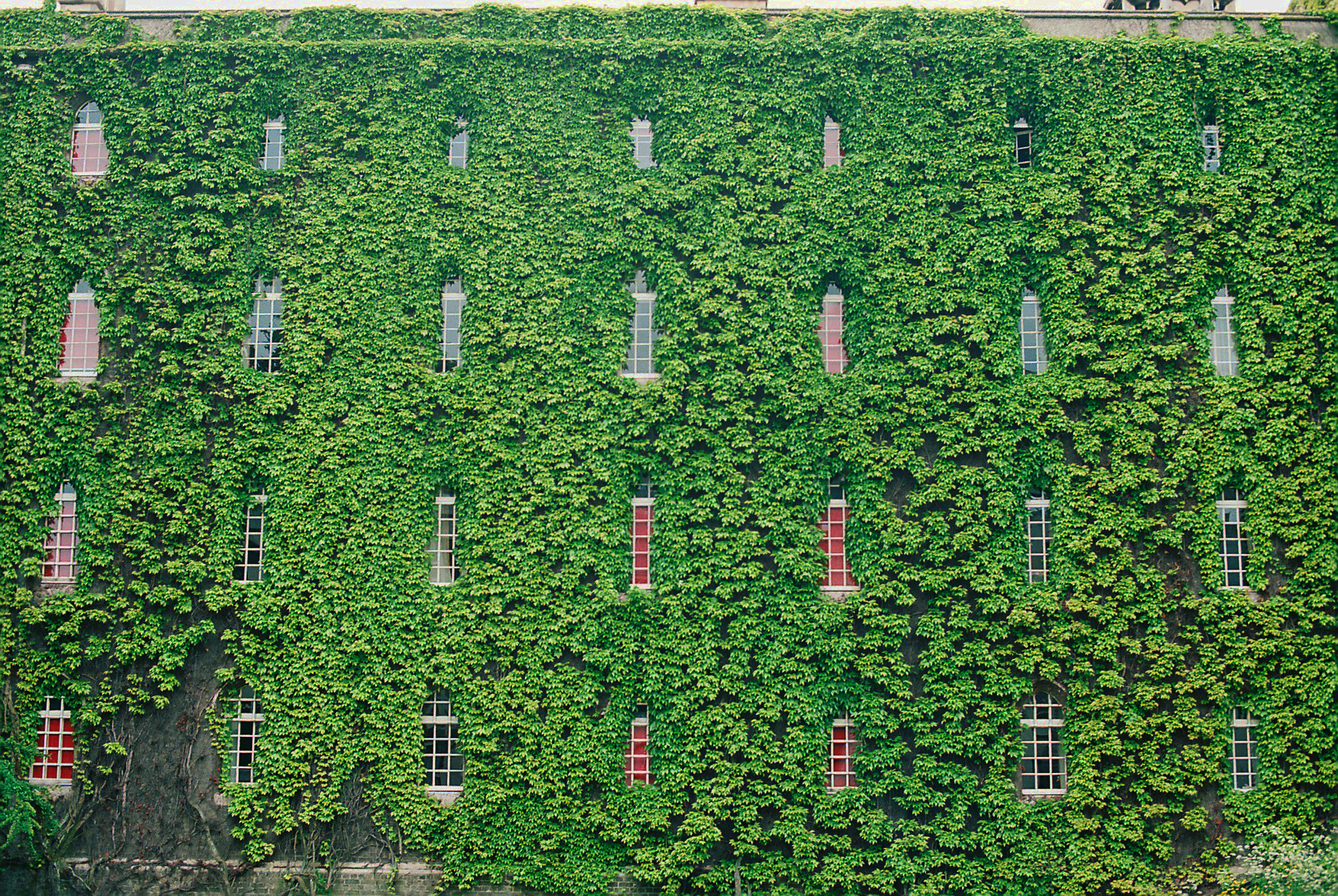 how to grow ivy plants